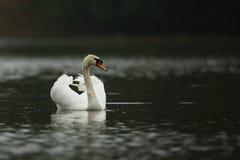 Łabędzia samiec monitoruje i onieśmiela na jego jeziorze Zdjęcia Royalty Free