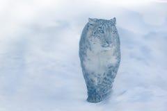 łaciński lamparta imienia śniegu uncia Zdjęcia Royalty Free