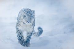 łaciński lamparta imienia śniegu uncia Fotografia Royalty Free