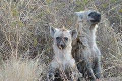 Łaciaści hien lisiątka Fotografia Stock