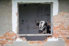 Łaciaści krów zerknięcia przez okno rujnująca stajnia fotografia royalty free