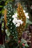 Łaciaści liście begoni boliviensis ognisko obrazy stock