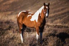 Łaciaci koni stojaki na skłonach Zdjęcia Stock