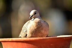 Łaciasta gołąbka Zdjęcie Royalty Free