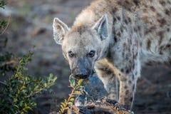 Łaciasta hiena żuć na mięsie w Kruger Zdjęcia Royalty Free