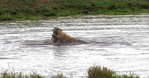 Łaciasta hiena, crocuta crocuta, dorosli bawić się w wodzie, Masai Mara park w Kenja, zdjęcie wideo