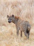 Łaciasta hiena Hwange park narodowy, zIMBABWE - śmieciarz grasuje w długiej suchej trawie Afrykańska sawanna - zdjęcia royalty free