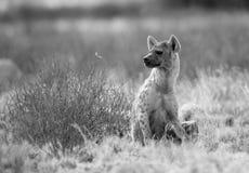 Łaciasta hiena przyglądająca z powrotem Zdjęcie Stock