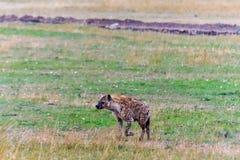 Łaciasta hiena w sawannie Mara kenya masai obrazy stock