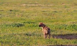 Łaciasta hiena w sawannie Serengeti, Tanzania obrazy royalty free