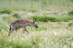 Łaciasta hiena w wysokiej zielonej trawie zdjęcia stock