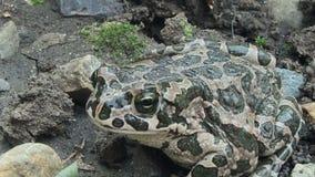Łaciasta zielona żaba zdjęcie wideo