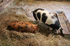 Łaciaste świnie w sty obraz royalty free
