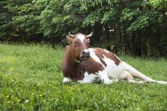 Łaciaste czerwone i białe krowy w łące Fotografia Royalty Free