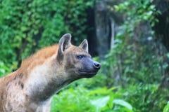 Łaciaste hieny - Łaciasta hiena może zabijać równie dużo gdy 95% zwierzęta jedzą Zdjęcia Royalty Free