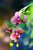 Łaciaste orchidee i pączki Zdjęcia Royalty Free