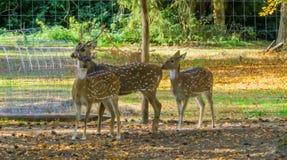 Łaciastej osi jelenia rodzinna pozycja wpólnie, jeden jeleń i dwa, zdjęcie stock
