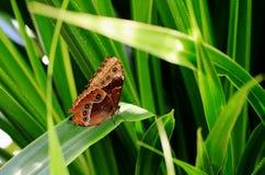 Łaciastej sowy Motyli odpoczywać na Jaskrawym - zielony liść w tropikalnej szklarni Zdjęcia Stock