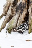 Łaciasty śmierdziel W śniegu Obrazy Stock