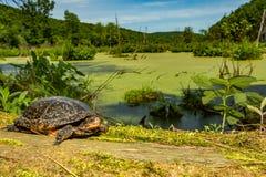 Łaciasty żółwia Clemmys guttata zdjęcie stock