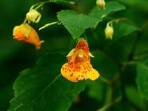 Łaciasty Dotyka Ja Nie kwiat w Pełnym kwiacie fotografia royalty free