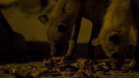 Łaciasty dziki hieny gmeranie dla jedzenia scavenge blisko miasto granic Harar w Etiopia zdjęcie royalty free