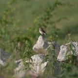 Łaciasty Flycatcher na górze skały (Muscicapa striata) Obrazy Royalty Free