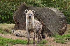 Łaciasty hieny Crocuta crocuta fotografia royalty free