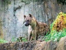Łaciasty hieny Crocuta crocuta, także znać jako roześmianej hieny zakończenie w górę bocznego widoku zwierzęcia przyrody zdjęcie royalty free
