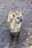 Łaciasty hyaena Obraz Stock