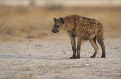 Łaciasty hyaena, Crocuta crocuta Obraz Royalty Free