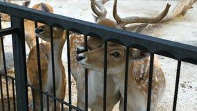 Łaciasty jeleni Cervus Nippon w zoo zbiory wideo
