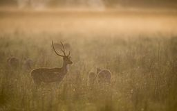 Łaciasty Jeleni jeleń w ranku świetle przy Dhikala obrazy royalty free