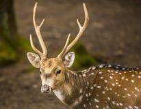 Łaciasty jeleni samiec portreta wizerunek zdjęcie stock