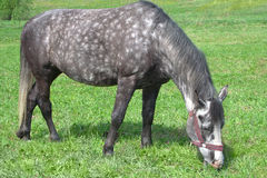 Łaciasty koń na paśniku Zdjęcie Royalty Free