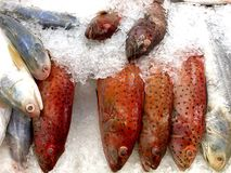 Łaciasty Koralowy Grouper i Threadfin łosoś na lodzie (czerwień) Zdjęcie Stock