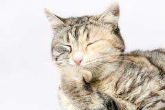 Łaciasty kota obsiadanie z oczami zamykał opierać na nodze Zdjęcia Royalty Free
