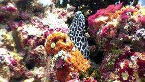 Łaciasty lampart mureny węgorz w poszukiwaniu karmowy podwodnego na dnie morskim w Maldives zdjęcie wideo