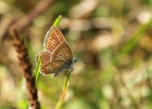 Łaciasty motyl & x28; Lycaenidae family& x29; na lato łące Obrazy Royalty Free