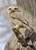 Łaciasty owlet Athene brama zdjęcie stock