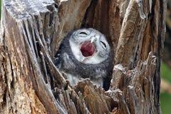 Łaciasty owlet Athene brama ptak w drzewnym wydrążeniu Zdjęcia Royalty Free