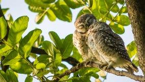 Łaciasty Owlet całowanie Zdjęcie Royalty Free