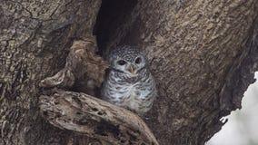 Łaciasty Owlet Na Drzewnym wydrążeniu Zdjęcia Royalty Free