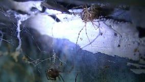Łaciasty pająk patrzeje po domowego pająka zbiory wideo