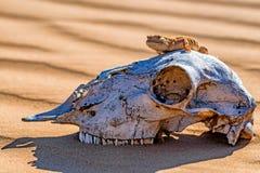 Łaciasty przewodzący Agama na końskiej ` s czaszce Fotografia Royalty Free
