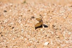 Łaciasty przewodzący Agama na piasku zamkniętym w górę zdjęcia stock