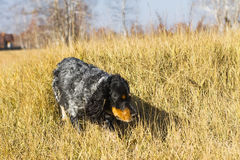 Łaciasty rosyjski spaniela bieg i bawić się w żółtym jesieni grą Zdjęcia Stock
