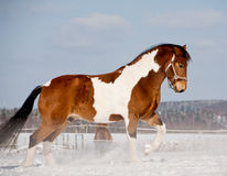 Łaciaty koń Obraz Stock