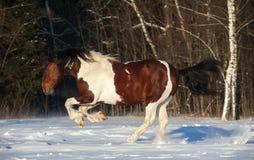 Łaciaty koń Zdjęcia Royalty Free