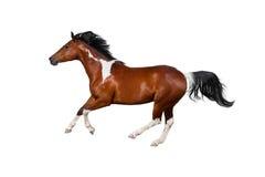 Łaciaty koń odizolowywający Obrazy Royalty Free